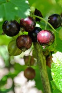 Black currant, Ribes nigrum, is a woody shrub grown for its piquant berries. You can't miss them in the garden - they are very aromatic. When ripe, black currants are dark purple in color, with glossy skins.