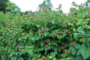 Yesterday, it was time to pick the black and red raspberries. And right on time, these bushes are all lush and exploding with delicious berries.