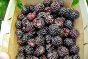 It doesn't take long to start filing the berry boxes. This all-purpose fruit is firm, sweet, and full of flavor. It tastes great eaten fresh off the stem or made into preserves. Ripe raspberries are rich in color, whether they are red, golden, or black. The entire berry should be consistently colored also, and full in shape before picking.