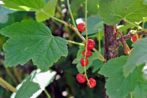 The varieties of red currants that I grow include 'Redstart' and 'Jonkheer Van Tets' – both produce very bright, red fruits.
