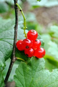 The fruits grow in clusters called racemes and are very easy to pick. The best time to harvest red currants is when the fruits are firm and juicy.