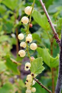 White currants, 'Blanka', are a sub-cultivar of the red currant. White currant berries are translucent with warm white tones and slight pink blush color.