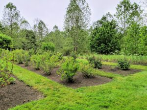 Some of you may recall I moved these berry bushes to this location a couple of years ago. Here they are last summer. This area has much more room for them to grow and flourish.