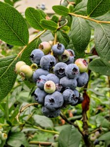 And inside – all these prolific blueberry bushes. These bushes are so full! I grow many blueberry varieties, including 'Bluegold', 'Chandler', 'Darrow', 'Jersey', and 'Patriot'.