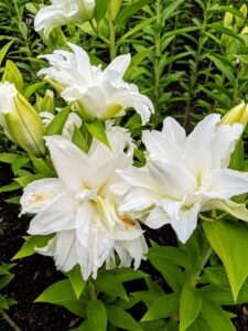 We've had several days of 90-degree weather here in the Northeast. Fortunately, lilies can withstand these temperatures.