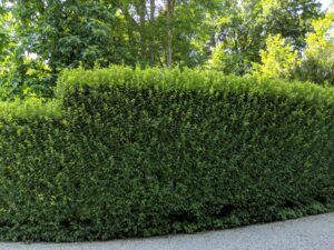 Along the back of the Summer House and the Winter House is another European hornbeam hedge. Because it is planted on a gradual slope, it needs to be pruned using a step method. The top and upper sides of a hedge are exposed to lots of light, so they grow more vigorously. Here is the hedge before it was done.