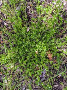 Chickweed is an annual weed that prefers shady, moist soil, although its seeds will sprout in dry soil. The easiest way to control chickweed is to pull individual plants.
