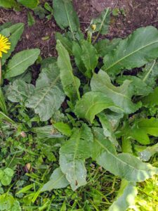 Some of the weeds we are pulling include docks. Docks are perennial plants growing from taproots. Docks were popular wild edibles during the Great Depression because of their tart, lemony flavor, and free, widespread abundance.