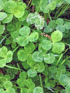 White or Dutch clover can be persistent, widely adapted producers with leaves that grow in sets of three leaflets. Each leaflet is tear-shaped and many have a stripe across it. White clover grows in a creeping manner and will develop roots wherever a stem node touches the ground.