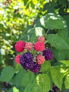 The taste of raspberries varies by cultivar and ranges from sweet to acidic. They are great for use in pies and tarts, and other desserts. They can also be used in cereals, ice-creams, juices, and herbal teas.