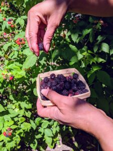Once raspberries are picked, they stop ripening, so under-ripe berries that are harvested will never mature to the maximum sweetness. Only ripe raspberries will come right off the stem. The black raspberry plant is a high producing early variety whose upright growth makes it easy for picking.