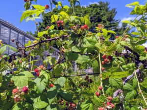 Raspberries are vigorous growers and will produce runners that fill up a bed. We will be picking more and more berries over the next few weeks.