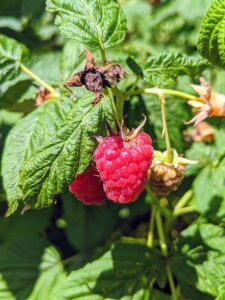 Fresh raspberries are an excellent source of vitamin-C. 100-grams of berries provides nearly 50-percent of the daily recommended intake of vitamin-C. Consuming adequate amounts supports the immune system and helps fight infections.