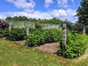 I have several rows of raspberries on one side of my main greenhouse. They all produce so many fruits every summer. Most raspberry plants that grow taller and yield more fruit need to be properly supported on wire trellises. I use these granite posts at the ends of each row, and stretch strong gauge wire in between them.