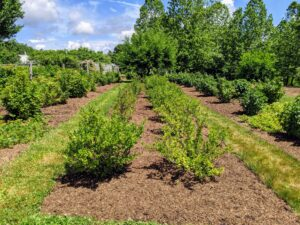 Here at my farm, the currant and gooseberry bushes are located in a field behind my main greenhouse not far from the raspberry bushes.