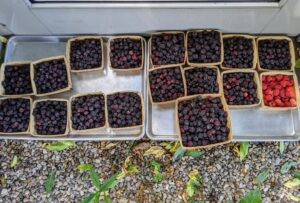 Look how many boxes of raspberries we harvested – not a bad first harvest, and just in time for the weekend holiday.