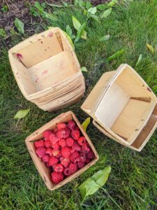 All the red raspberries are also collected loosely in these berry boxes. Red raspberries must be picked and handled very carefully and checked for insects and rot. These berries are perfect.