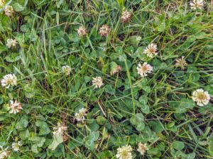 While it can grow in many different places, it is typically found in lawns, competing with grass.