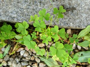 Oxalis can be hard to tame because it grows year-round. Also called sour grass, it is a vigorous weed, and a summer annual – sometimes perennial – that thrives in fertile, warm, and moist soils in the shade. The leaflets are made up of three heart-shaped leaves, folded through the middle.