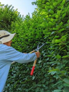 Here's Chhiring working on the front sections. We use a traditional English style of pruning, which includes a lot of straight, clean edges. A well-manicured hedge can be stunning in any garden but left unchecked, it could look unruly.