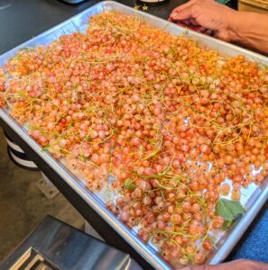 Once picked, the berries are taken to the flower room, spread out in single layers on baking sheets, and then placed into the freezer. I like to place currants in single layers, on trays, so they don't get crushed.