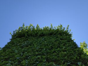 Looking up, the new growth can be seen growing wildly above the trimmed lower section.