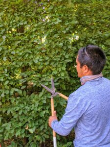 Using Japanese Okatsune shears specially made for trimming hedges, Pasang is able to prune the hornbeams so they are nice and flat. These shears are user-friendly and come in a range of sizes.