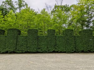 And here is the finished hedge – trimmed beautifully.