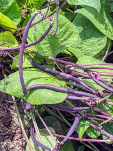 They are also called string beans because of a fibrous string running the length of the pod, but most varieties grown now do not have that fibrous string. These purple beans are gorgeous - violet-purple outside and bright green inside with great flavor.