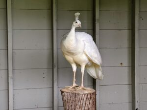 """All peafowl enjoy roosting at higher levels. In the wild, this keeps them safe from predators at night. My outdoor birds all have access to natural perches made from old felled trees here at the farm. It is important that they have a variety of perches upon which to roost. The peacocks and peahens have these """"planted"""" trees both inside and outside their coop. Here, one can see the sharp, powerful metatarsal spurs on this hen's legs. Also known as 'kicking thorns,' these spurs are used for defense against predators. They also have three strong toes facing forward and one facing backward."""
