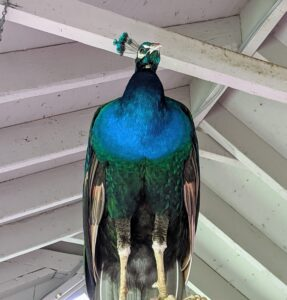 Look closely – a peafowl's legs are very strong. As they develop, males will tend to have longer legs than females.