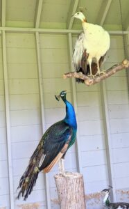 I am glad these birds get along with each other. These peafowls are resting on perches inside their coop.