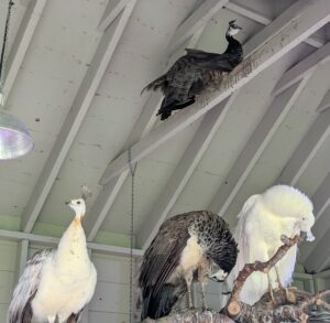 """All birds always find the highest perch – here is a peahen on one of the cross beams in the coop, and three others relaxing on the """"planted"""" tree below."""