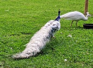 This is a silver pied peacock with white feathers and blue and green markings.