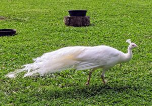 Occasionally, peafowls appear with white plumage. Most white birds have a genetic condition called leucism, which causes pigment cells to fail to migrate from the neural crest during development. Leucistic peachicks are born yellow and become fully white as they mature.