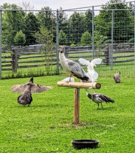 They are very fast runners - they can go about 10mph. They can also fly when needed. Peafowls tend to run and take several small leaps before a big final hop. Their huge wingspan allows them to flutter quite far.