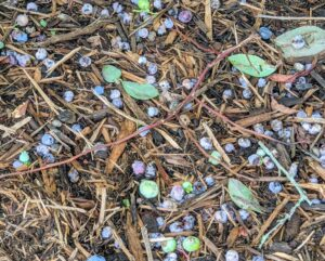 Many blueberries also fall to the ground. All those picked are carefully inspected – only the best are saved.