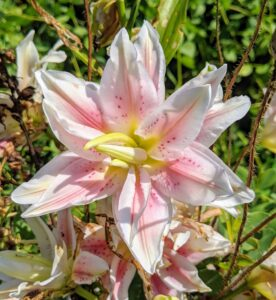 Here is another rose lily flower in a lighter shade of pink.
