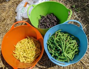 We've had such a bounty of beans this year - in green, yellow, and purple. Beans grow best in full sun and moist soil. Here in the Northeast, we've had both. Bush beans grow on shrubby plants and are very prolific producers. They can continually produce throughout the season with the proper care. In general, bush beans should be ready in 50 to 55 days.
