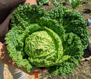 Enma harvested this Savoy cabbage. Cabbage, Brassica oleracea, is a member of the cruciferous vegetable family and is related to kale, broccoli, collards, and Brussels sprouts. The leaves of the Savoy cabbage are more ruffled and a bit more yellowish in color.