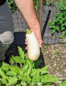 We also harvested several eggplants. I like to pick them when they're smaller. This one is a perfect size.