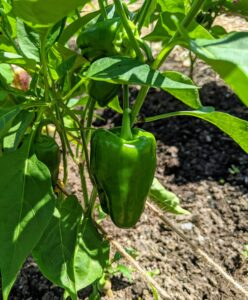 Allowing the bell pepper to remain on the plant and continue to ripen before picking pepper fruit, will result in sweeter peppers.
