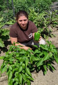 Some of the sweet peppers are also ready for picking. Enma harvests this perfect green pepper.