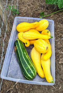 Ripe squash will be firm, fairly heavy for its size, and vibrantly colored. Some are already too big, but still delicious. The larger squash will go to my chickens.