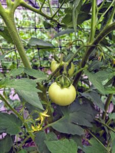 Most tomato plant varieties need between 50 and 90 days to mature. Planting can also be staggered to produce early, mid, and late-season tomato harvests.