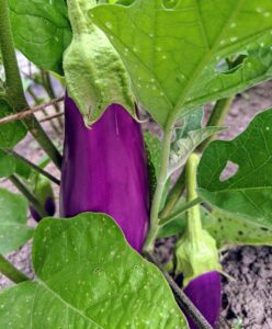 These eggplants will be ready in a couple more days. Pick eggplants when they are young and tender. Picking a little early will encourage the plant to grow more, and will help to extend the growing season.