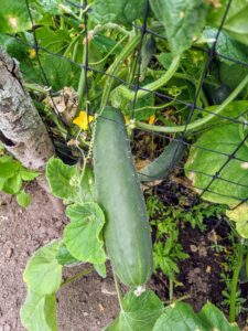 The cucumbers look great this year. Cucumbers require a long growing season, and most are ready for harvest in 50 to 70 days from planting. The fruits ripen at different times on the vine, but it is essential to pick them when they are ready. If they are left on the vine too long, they will taste bitter.