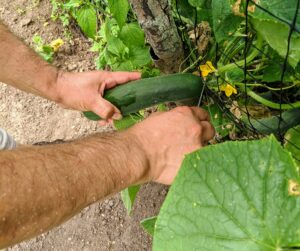Remove the fruit with a sharp knife or pruners to prevent injury to the vine from twisting or pulling. These trellises work great because they keep the cucumbers off the ground.