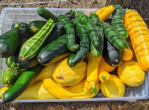 Look at our bounty of squash and cucumbers. Everything is growing so fast - it is so important to check the garden every single day.