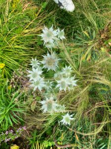 This is Eryngium 'Mrs. Wilmott's Ghost' with its luminous spiny collar of silvery-white bracts surrounding an egg-shaped flower head and tightly packed with flowers, initially pale green, then changing to steel-blue.